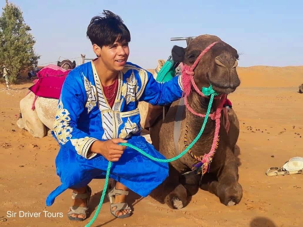 camel header in morocco desert